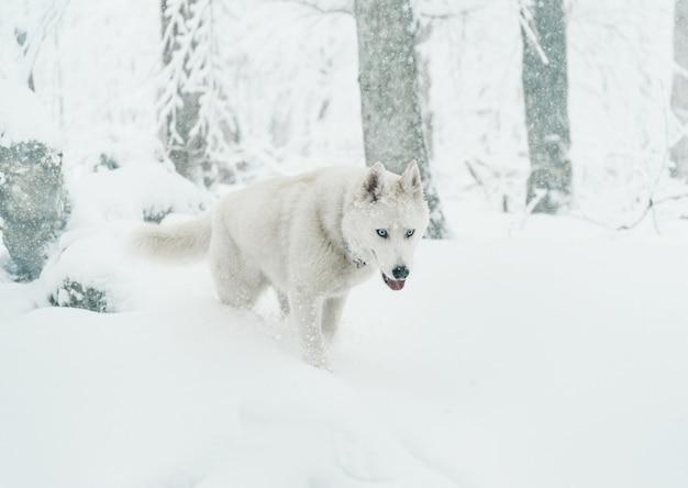 Chien husky marchant en hiver