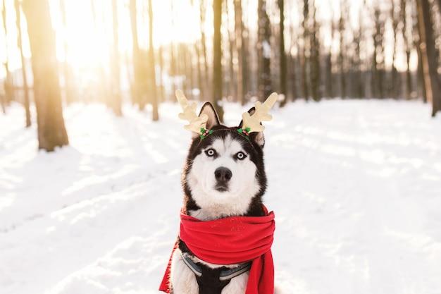 Chien husky de noël en écharpe rouge cornes de cerf tenue de père noël dans la forêt enneigée