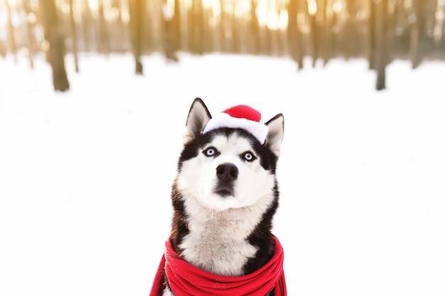 Chien husky de noël en écharpe rouge tenue bonnet de noel dans la forêt enneigée