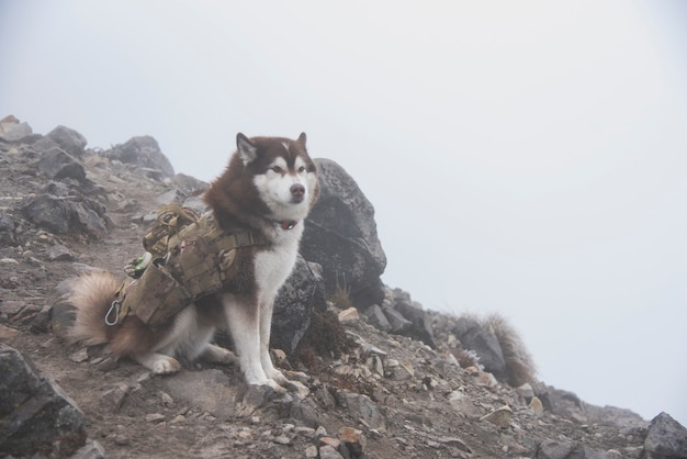Chien husky randonnée dans la montagne nevado de colima nacional park, au sommet de la forêt