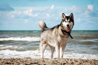 Chien husky de sibérie sur la plage