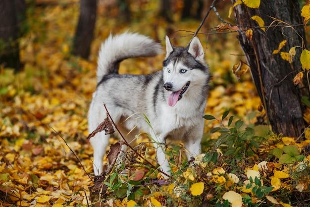 Chien husky sibérien aux yeux bleus se dresse et regarde.