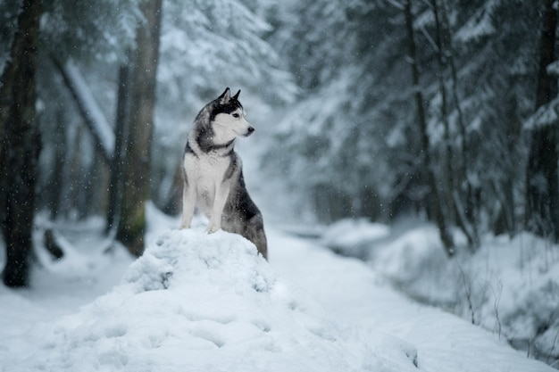 Chien husky sibérien sur la neige