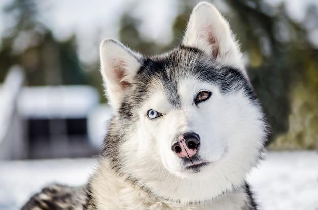 Chien husky sibérien regarde autour de lui. le chien husky a une robe noire et blanche.