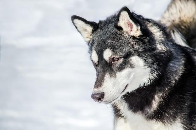 Chien husky sibérien regarde autour de lui. chien husky