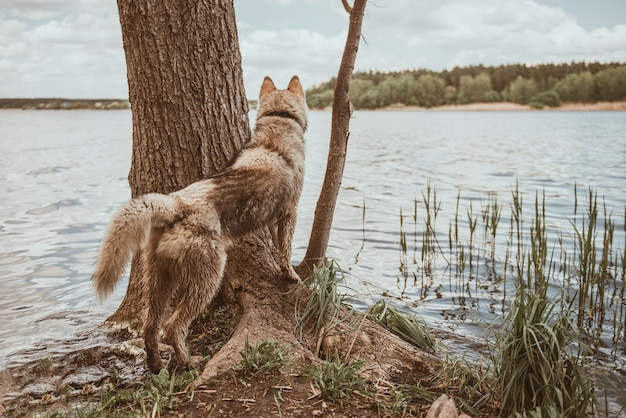 Chien husky sibérien restant près de la rivière. jeune chien sauvage dans la forêt. le chien nage dans le lac