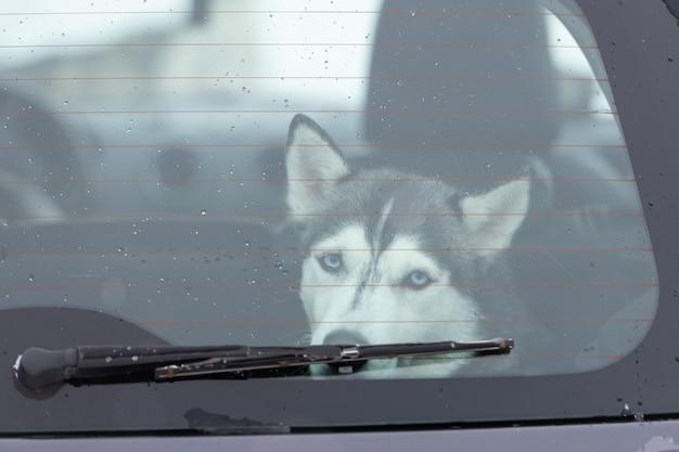 Chien husky sibérien triste et drôle en voiture, animal mignon