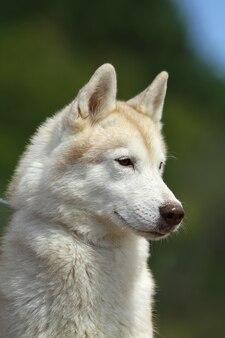 Chien husky sibérien
