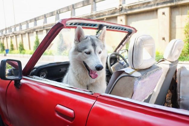 Chien husky souriant mignon assis dans la voiture