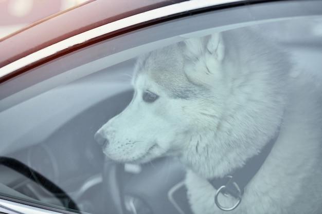 Chien husky en voiture