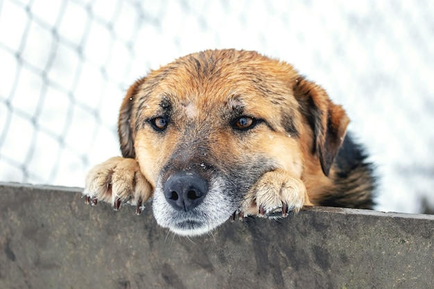 Un chien intelligent regarde derrière une clôture en hiver
