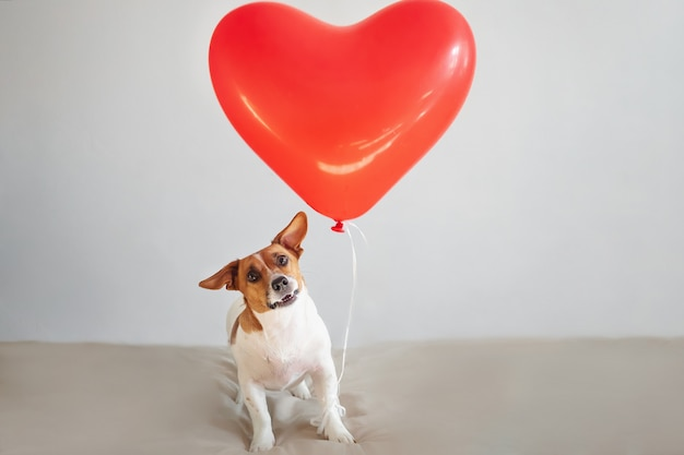 Chien jack russell drôle avec des ballons de coeur. concept de saint valentin.