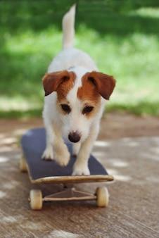 Chien jack russell sur le skateboard portant sur les vacances d'ete.