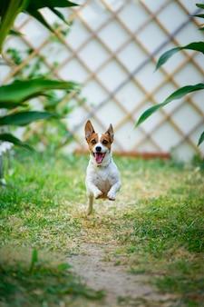 Chien jack russell terrier courir et sauter dans l'arrière-cour.