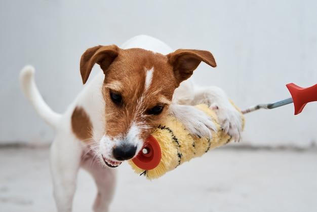 Chien jack russell terrier jouant avec rouleau à peinture dans la salle blanche