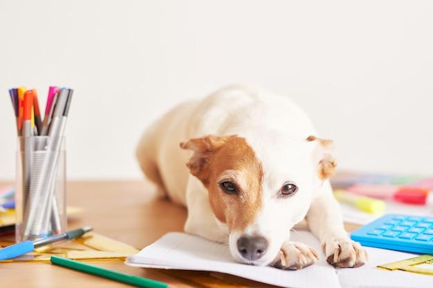 Chien jack russell terrier sur une table près des fournitures scolaires