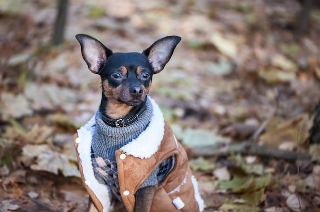 Chien, un jouet terrier, un petit chien élégamment vêtu dans un pull et un manteau en peau de mouton