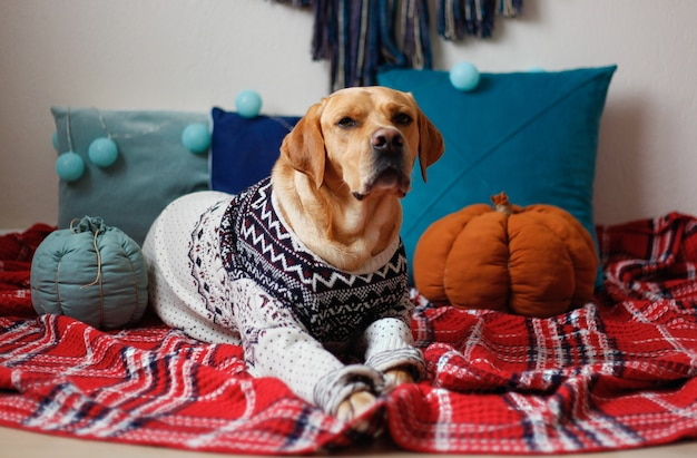 Chien labrador dans un pull de noël allongé sur la couverture rouge
