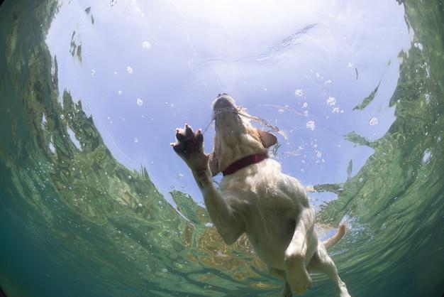 Chien labrador retriever nageant sous l'eau d'en bas