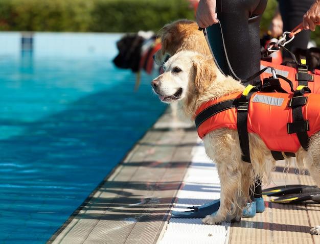 Chien maître nageur