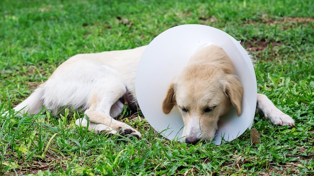 Chien malade portant un collier en entonnoir et couché sur l'herbe.
