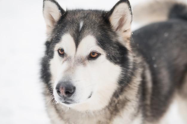 Chien malamute d'alaska aux yeux bruns dans la neige