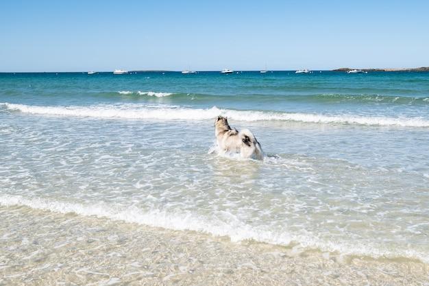 Chien malamute ou husky jouant dans les vagues d'une grande plage en bretagne en été