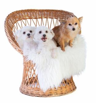 Chien maltais, coton de tulear et chihuahua sur une chaise en osier