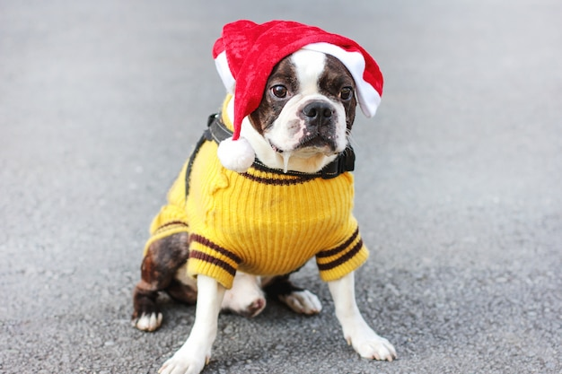 Chien mignon boston terrier en pull jaune et bonnet de noel assis