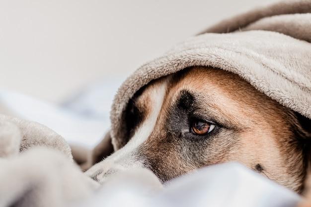 Chien mignon sur la couche de lit sous un blanket