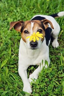Chien mignon dans l'herbe verte avec fleur jaune sur le museau