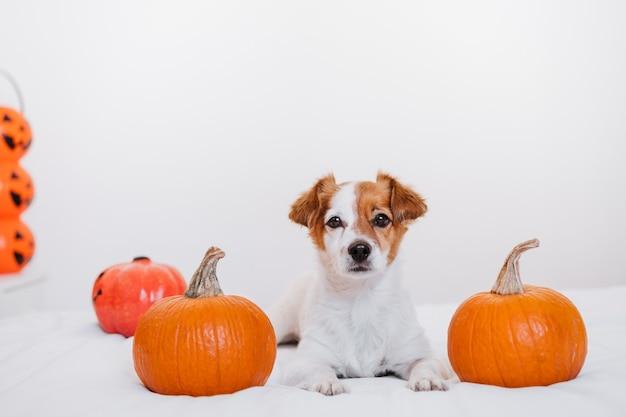 Chien mignon jack russell à la maison. décoration de fond halloween dans la chambre