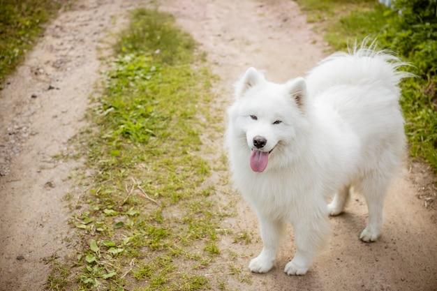 Chien mignon langue blanche moelleux samoyed dans le chemin du parc, toilettage de chien.