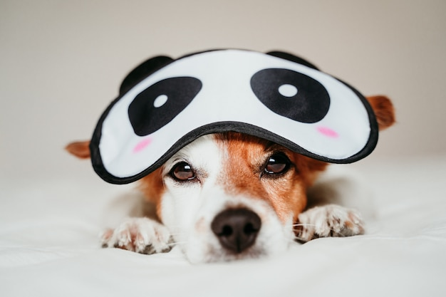 Chien mignon petit jack russell allongé sur le lit et portant un masque de sommeil panda drôle