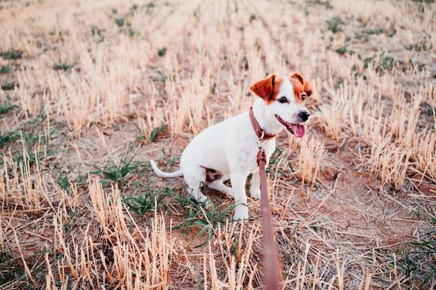 Chien mignon petit jack russell en campagne debout dans un champ jaune. portant une laisse et un collier en cuir marron