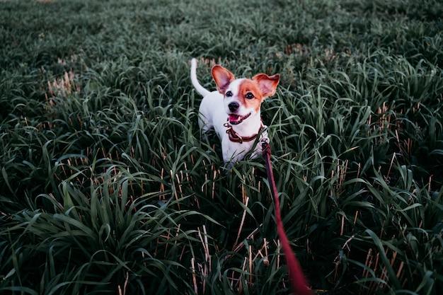 Chien mignon petit jack russell en campagne debout parmi l'herbe verte. portant une laisse et un collier en cuir marron