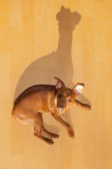 Chien mini pinscher allongé sur un plancher en bois avec ombre