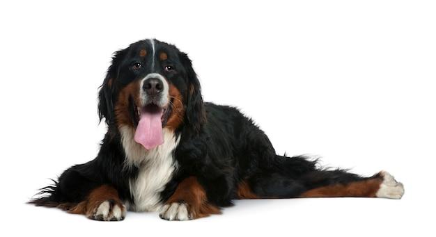 Chien de montagne bernois, 2 ans. portrait de chien isolé