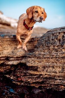 Chien mouillé errer le long de la plage rocheuse
