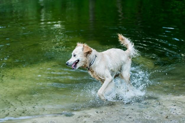 Chien mouillé heureux courir dans l'eau