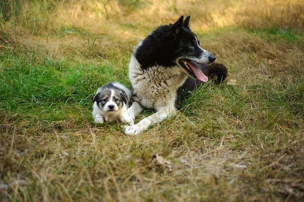 Chien noir et blanc couché près de son petit chiot sur l'herbe