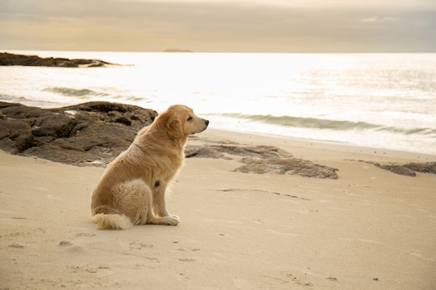 Chien d'or assis sur la plage au coucher du soleil