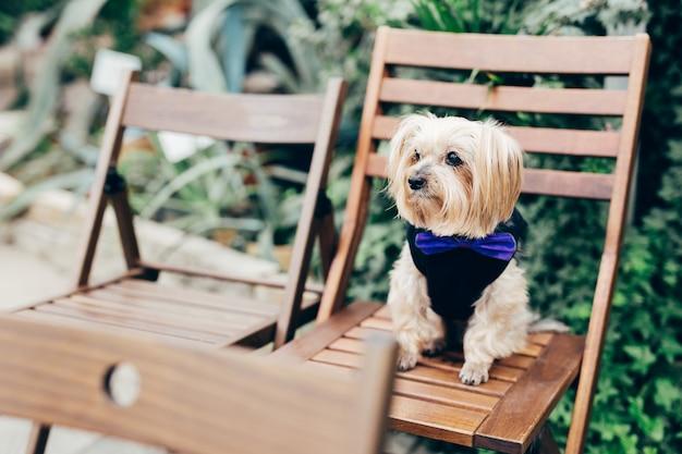 Chien pensif avec une longue fourrure légère, pose sur une chaise en bois, habillé de vêtements de fête