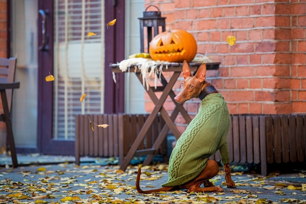 Le chien de pharaon est assis dans un pull en tricot vert près d'une table avec une citrouille, allume le spectateur