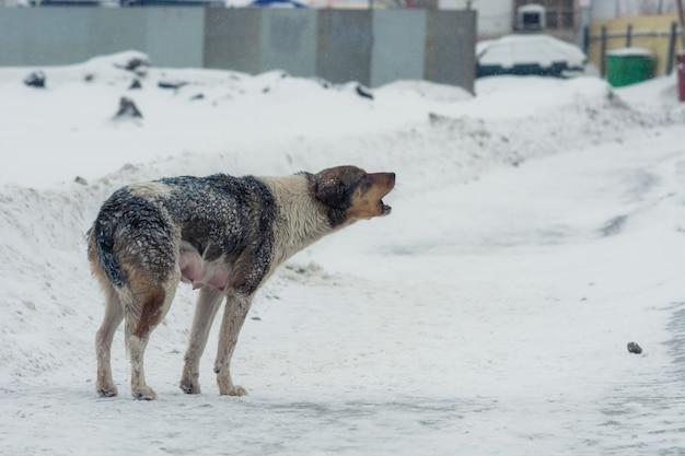 Le chien a pincé la queue du froid et hurle.