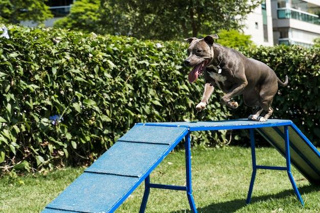 Le chien pit-bull grimpe la rampe tout en pratiquant l'agilité et en jouant dans le parc à chiens. espace pour chien avec des jouets de type rampe et des pneus pour qu'il puisse faire de l'exercice.