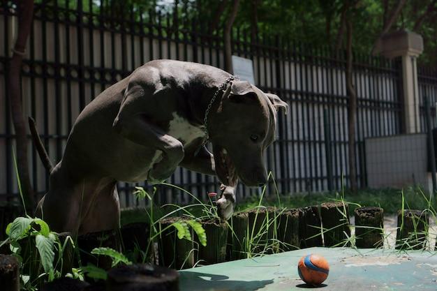 Chien pit-bull jouant dans le parc. journée ensoleillée