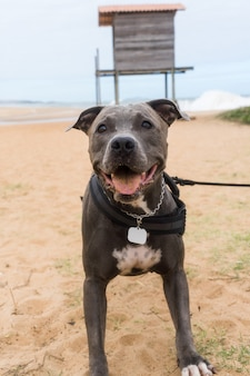 Chien pit bull jouant sur la plage, profitant de la mer et du sable. journée ensoleillée. mise au point sélective.