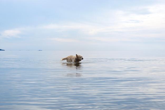 Le chien à poil roux de race golden retriever se tient dans la mer et se secoue.