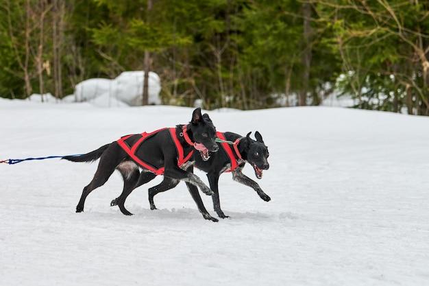 Chien de pointeur en cours d'exécution sur les courses de chiens de traîneau. compétition d'équipe de traîneau de sport canin d'hiver